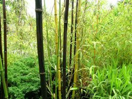 Cascade Gardens Bamboo Plant S And Service In Seattle