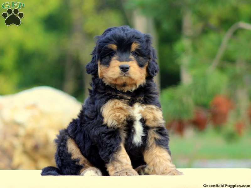 Mini Bernedoodle Puppies For Sale Bernedoodle Puppy Bernedoodle Miniature Dog Breeds