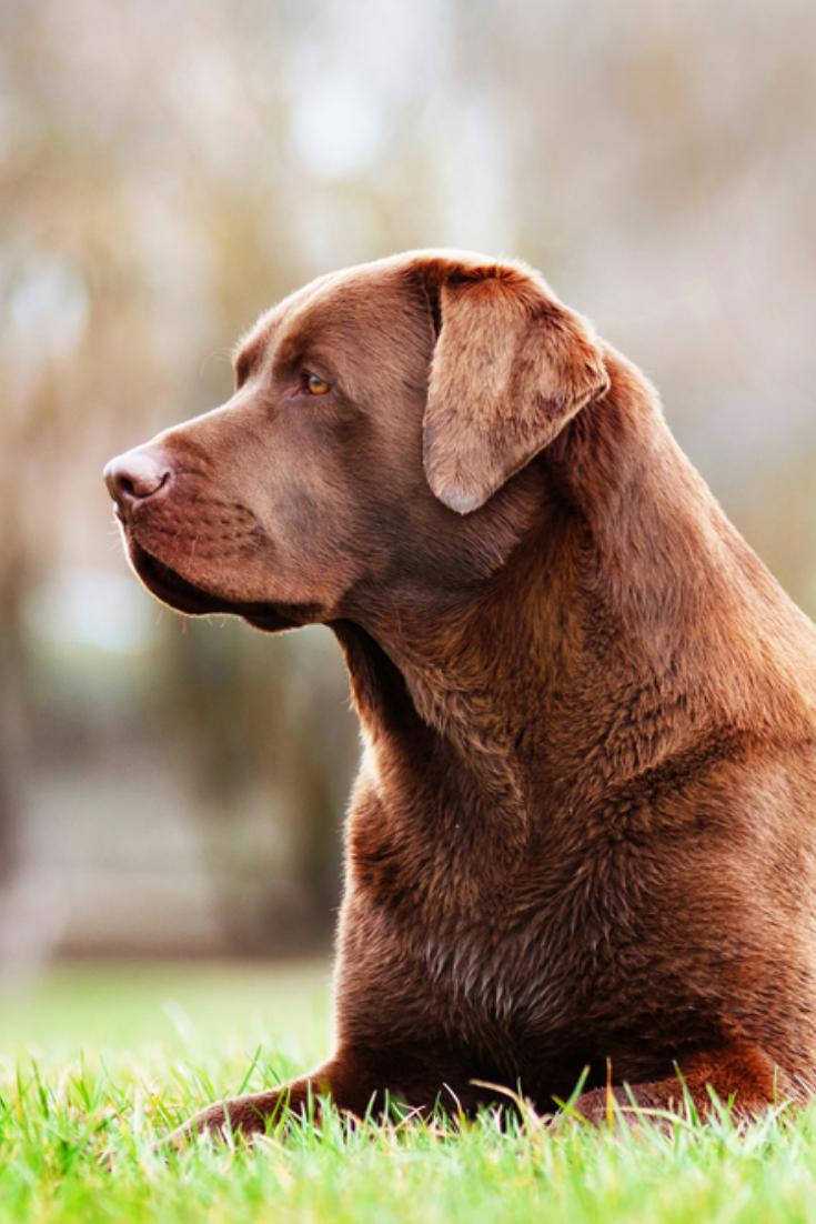 Brown Labrador Retriever Dog Resting Outside Labradorretriever In 2020 Labrador Retriever Labrador Dog Chocolate Labrador Retriever