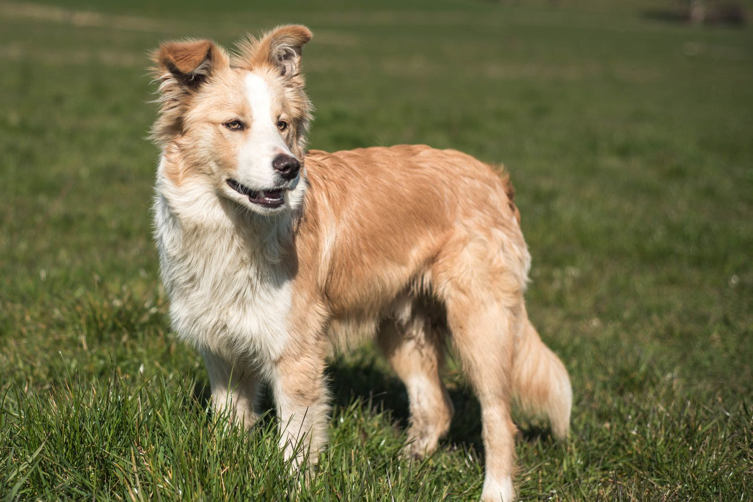 Wheaten Border Collie By Evm Pet Photography Yarra Valley
