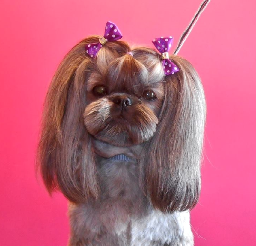 Adorable shih Tzu haircut leaves the topknot hair to be divided into pigtails. I love how the face muzzle is rounded. Cute, cute, cute! Found on Facebook.