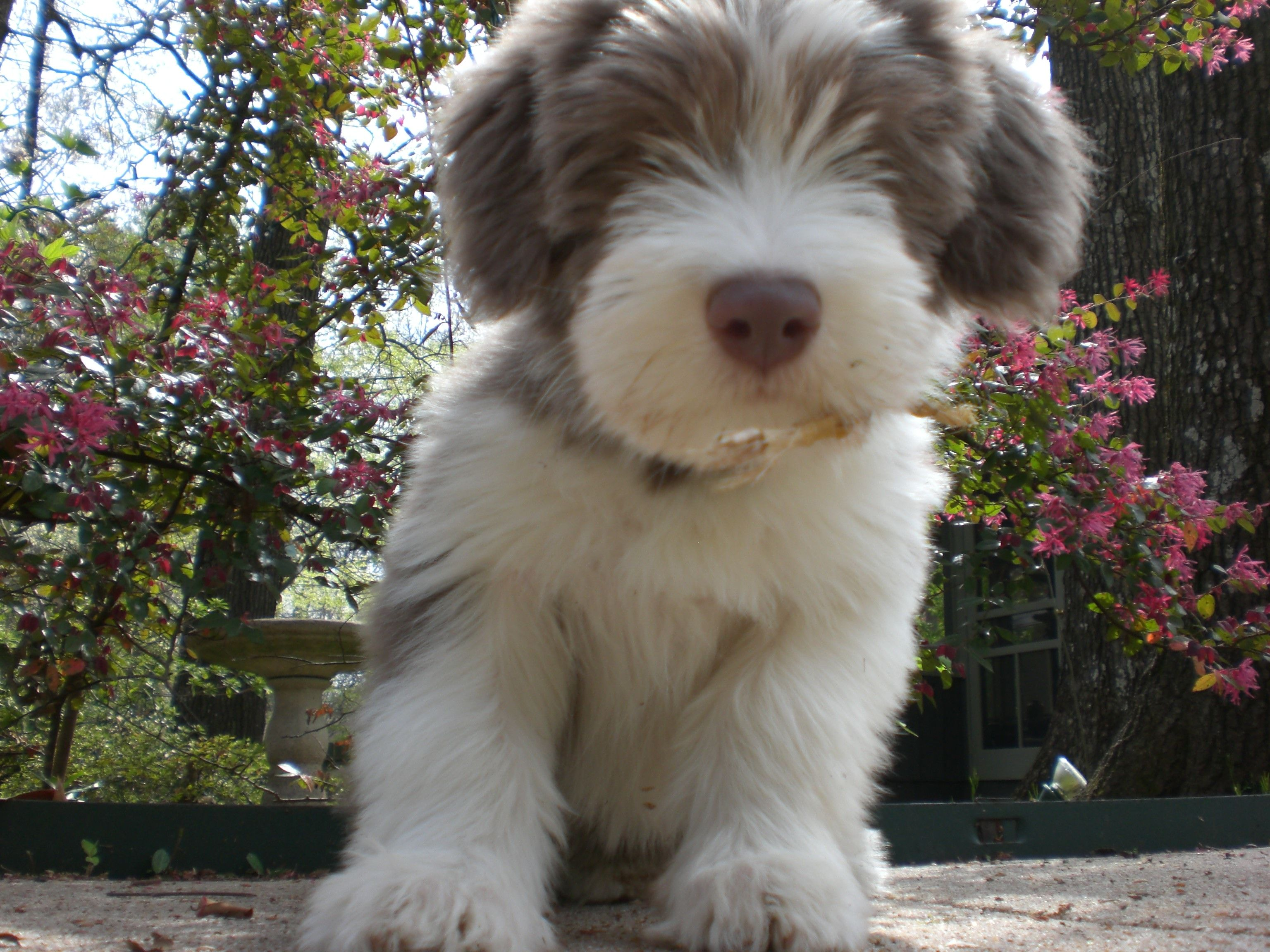 Duncan puppy Bearded collie puppies, Bearded collie