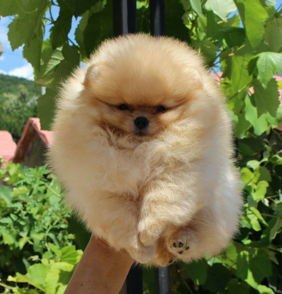 Pin By Bridget Rosener On Pomeranian Pinterest Dog Supplies