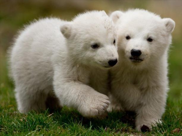 Nacen Dos Crías De Osos Polares En Múnich Osos Polares Bebés Fotos De Osos Osos Polares