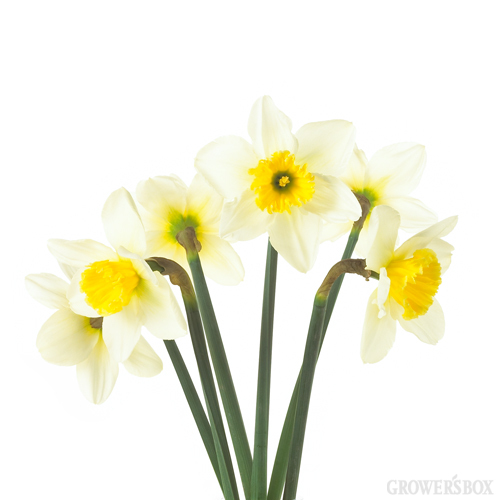 Wholesale Field Daffodils are fantastic spring flowers and are typically available beginning the first of March through April - and sometimes to Mother's Day, weather permitting. These charming wholesale flowers are shipped in bud form and boast small, beautiful and iconic daffodil blooms! Perfect as flowers for weddings, events, parties and soirees! Order wholesale flowers online at www.GrowersBox.com.