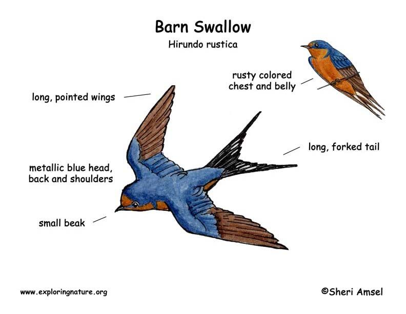 Barn Swallow Eggs | Swallow (Barn) | pictures for childrens book-the ...