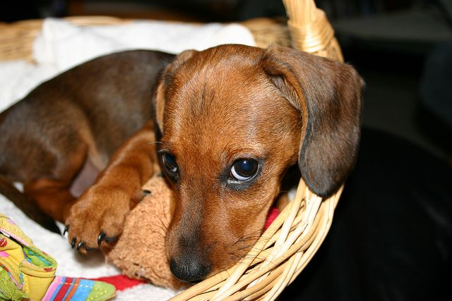 Img0324 Photographs Pinterest Puppies Dogs And Dachshund