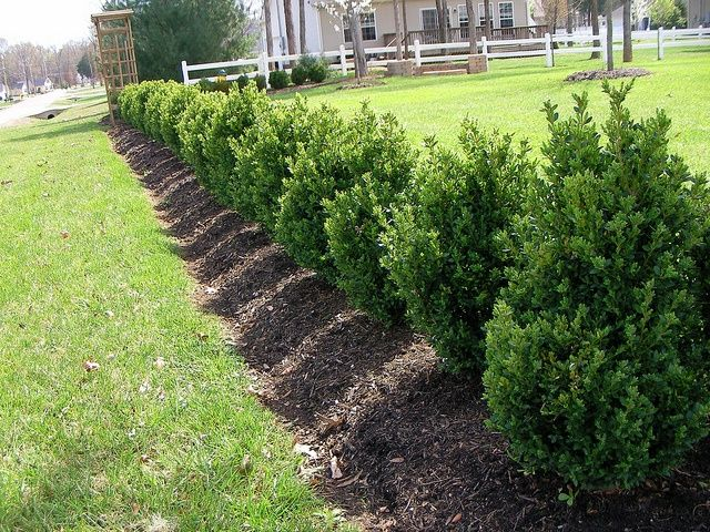 image result for green mountain boxwood landscaping plants pinterest