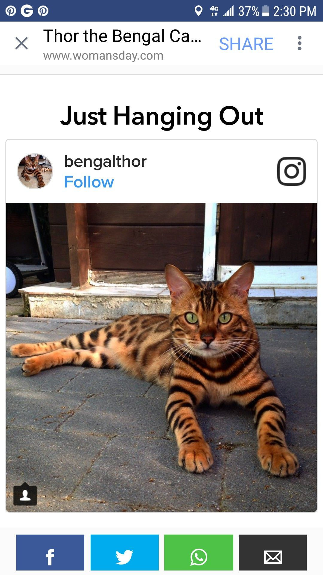 Pin by Nancy Patterson on Animal pics & Info Bengal cat