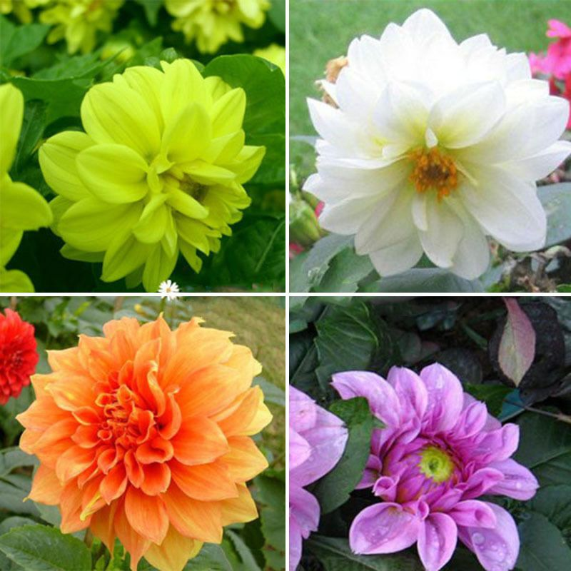 2 Colorful Dahlia Large Bloom Flower Bulbs Perennials Garden Plant Pot Bulbs Plants Bulbsplants Bulbsplant Bulb Flowers Garden Plant Pots Flower Seeds