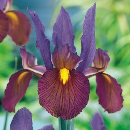 Iris Tigers Eye Dutch Iris Iris Flowers Dutch Iris Bulb Flowers