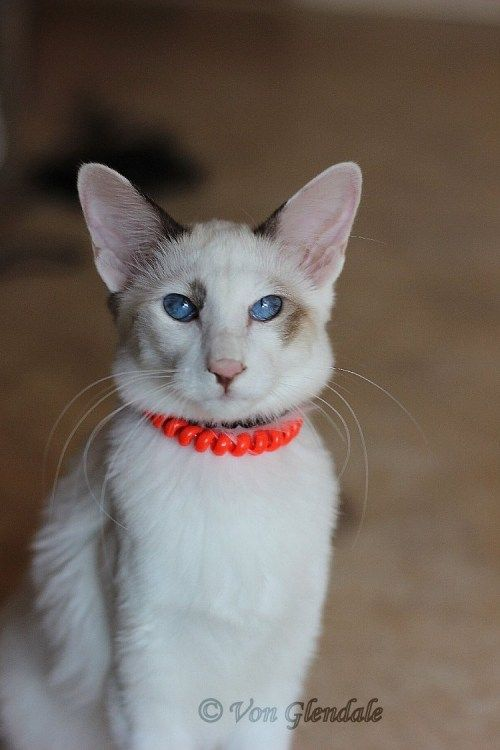 Jeahkir Jaely Chocolate Point Bicolour Balinese Balinese Cat Cat Colors Cute Cats