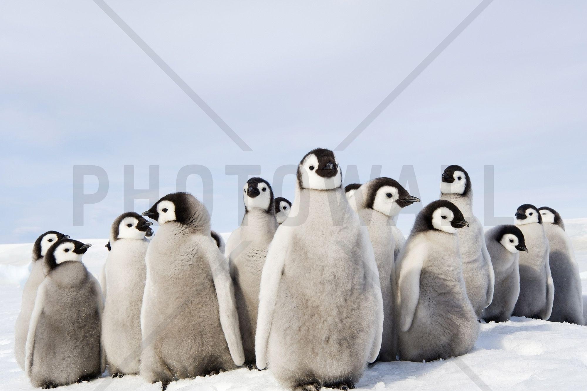 Group of Emperor Penguin Chicks - Fototapeter & Tapeter - Photowall