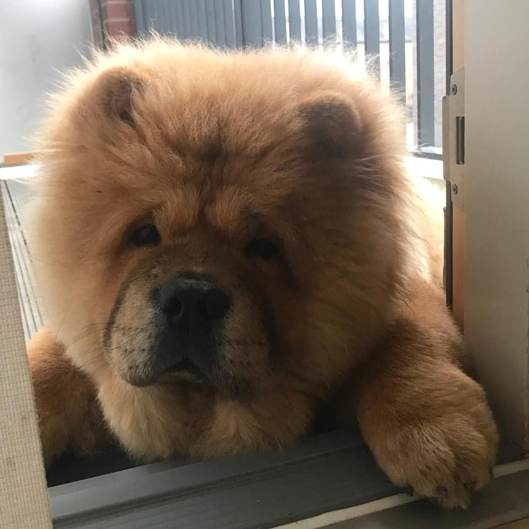 Chow Chow Chow Chow Dogs Animal Behavior Chow Chow Puppy