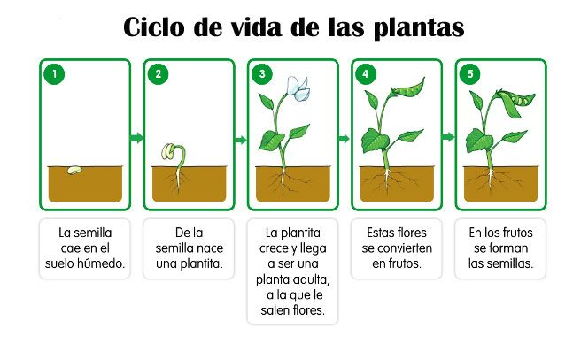 Ciclo de vida de las plantas ciclo de vida primaria for Como crecen los arboles para ninos