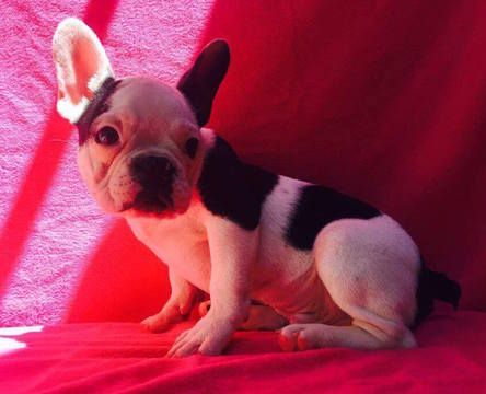 French Bulldog Puppy For Sale In Charleston Sc Adn 23952 On