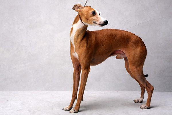 Westminster S Best Of Breed Westminster Dog Show Grey Hound Dog Dog Show