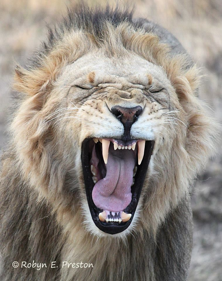 Fisher Cat Teeth : fisher, teeth, Teeth, Have