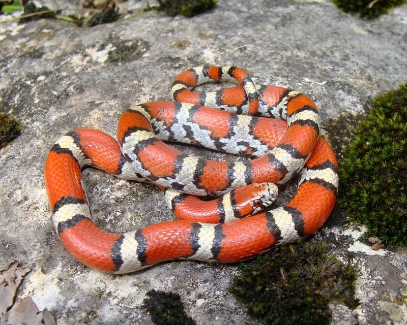 Coral Snake mimic. A Coral Snake mimic, Red Milk Snake ...