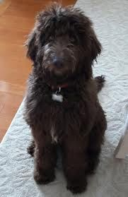 labradoodles - looks like our Daisy st