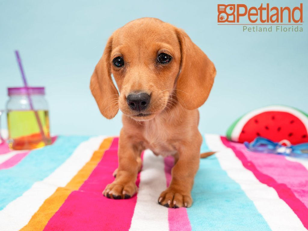 Puppies For Sale Dachshund Puppies For Sale Dachshund Puppies