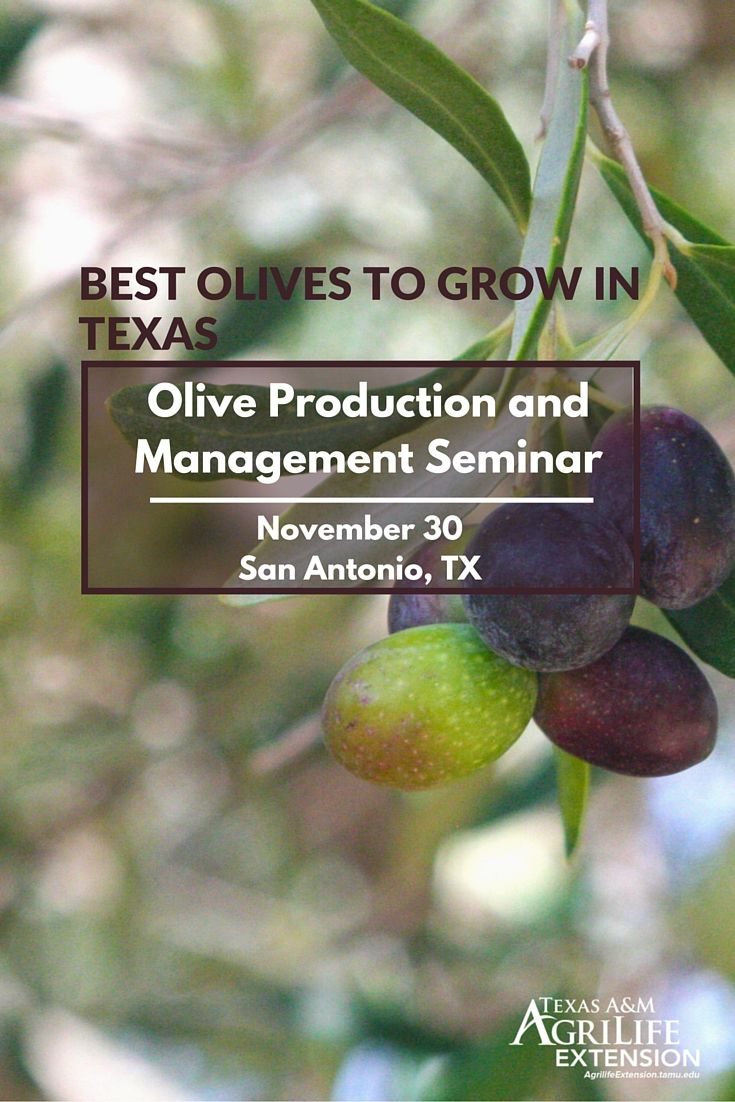 Best Olives to Grow in Texas Olive, Texas, Family farm