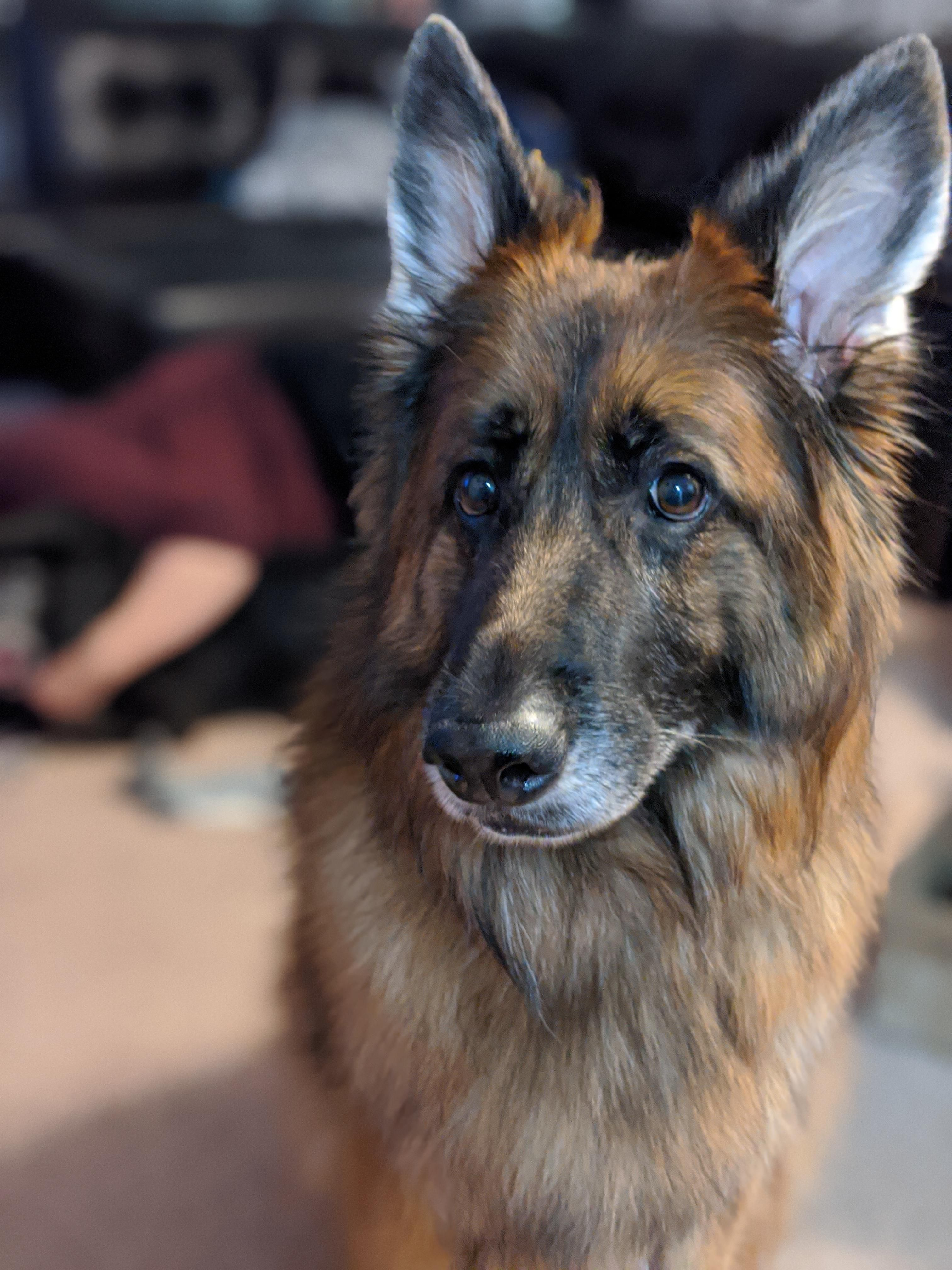 44 German Shepherd Mix Breed Reviews German Shepherd Dogs Vizsla Puppies German Shepherd Puppies