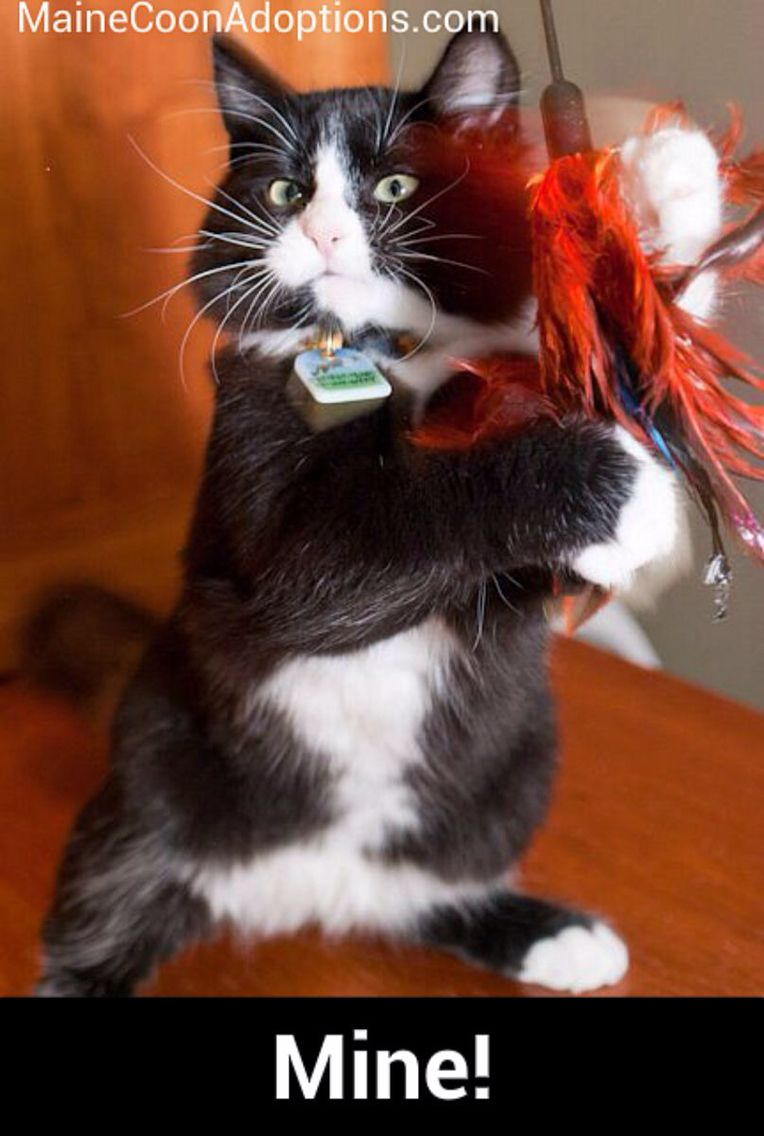 No You Can T Have This Feather It S Mine Catitude Mainecoonadoptions Com Cute Cats Photos Kittens And Puppies Cool Pets