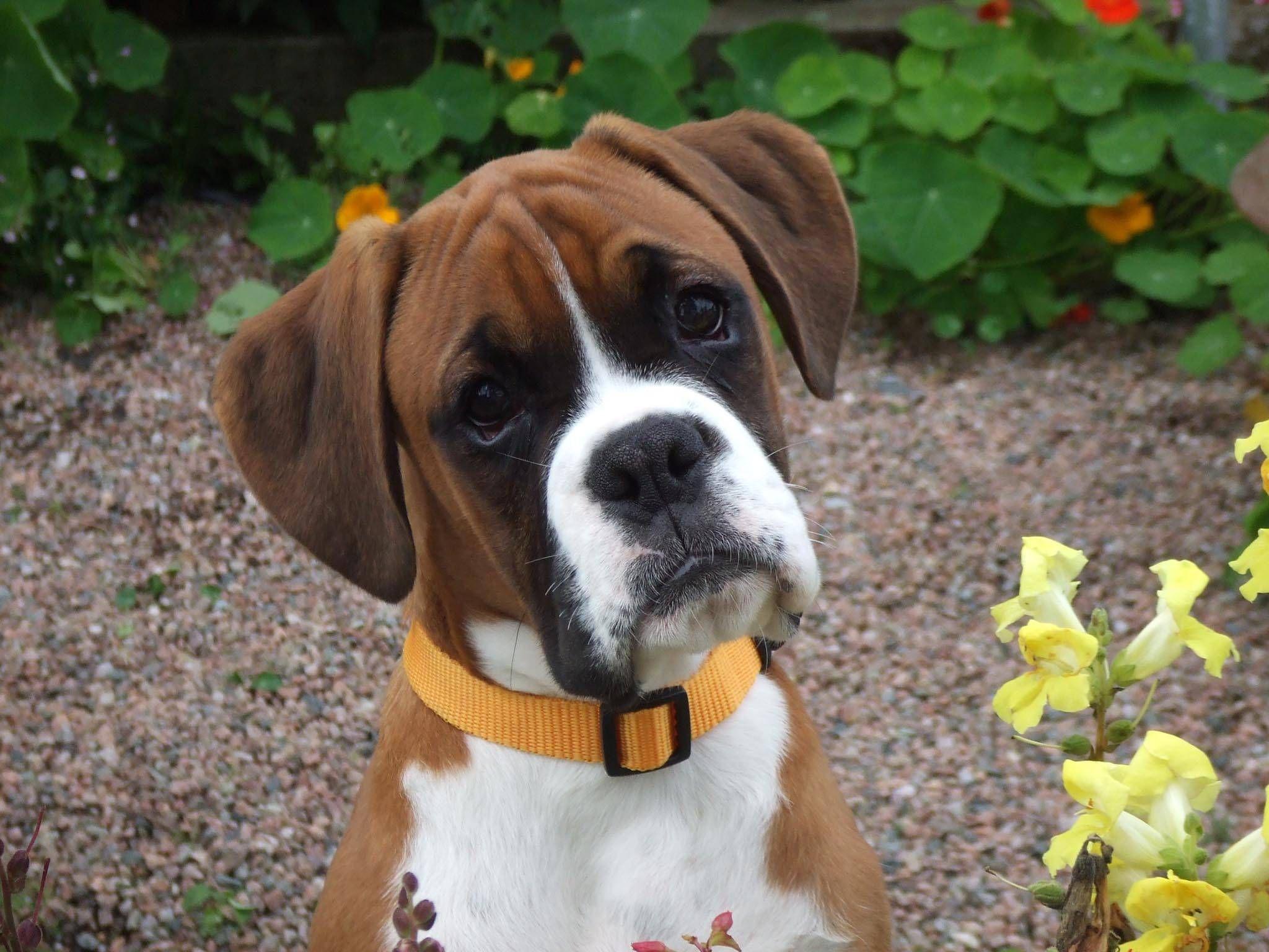 Boxer Puppies Dog Photos Dog Breed Information Boxer Dog Breed
