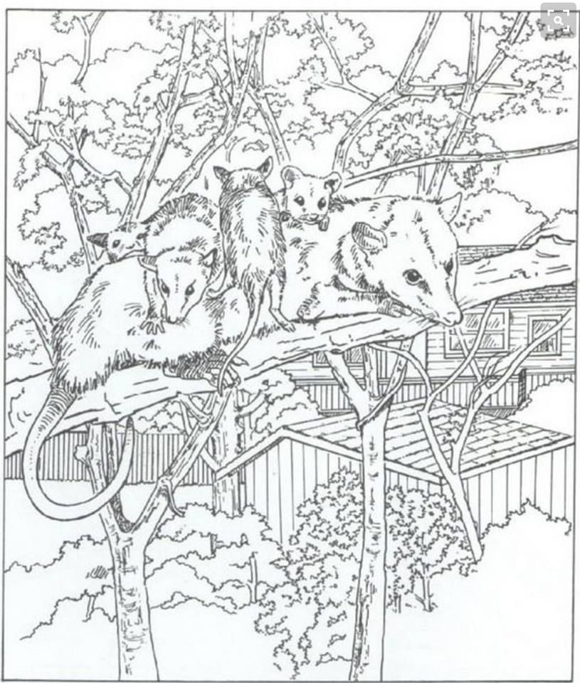 Possum coloring page Opossums