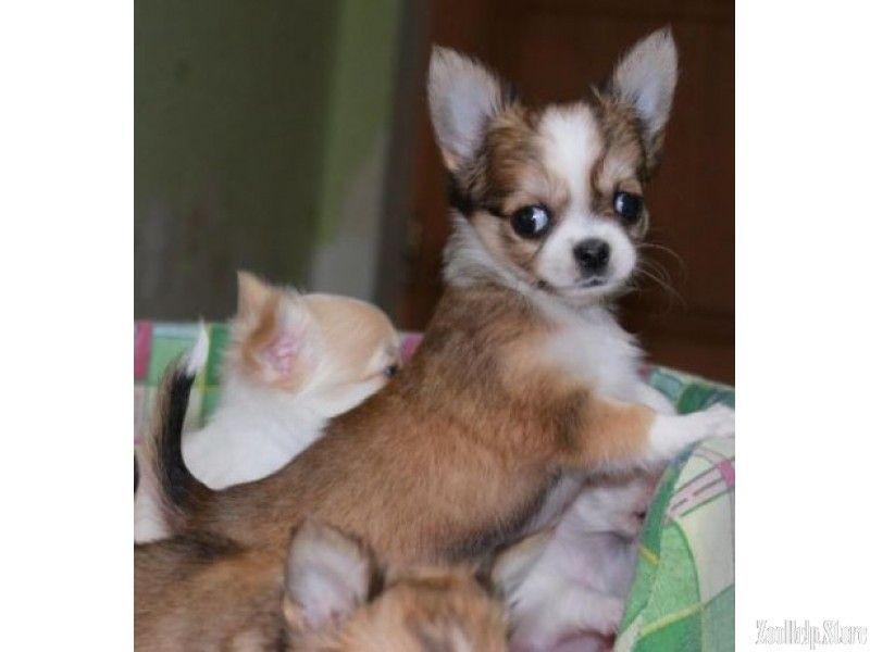 Chihuahua Puppies For Sale Near M Chihuahua Puppies For Sale Near