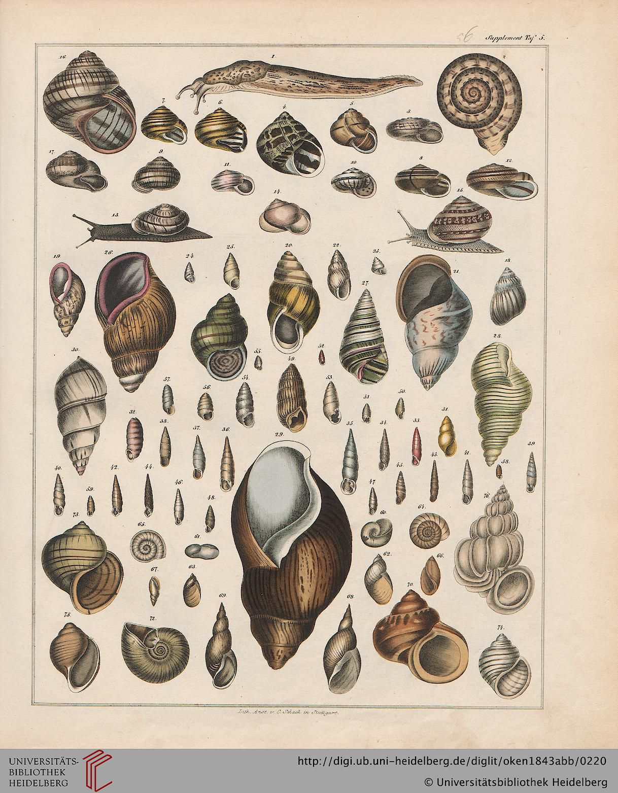General Natural History: For all classes, Lorenz Oken, 1843.