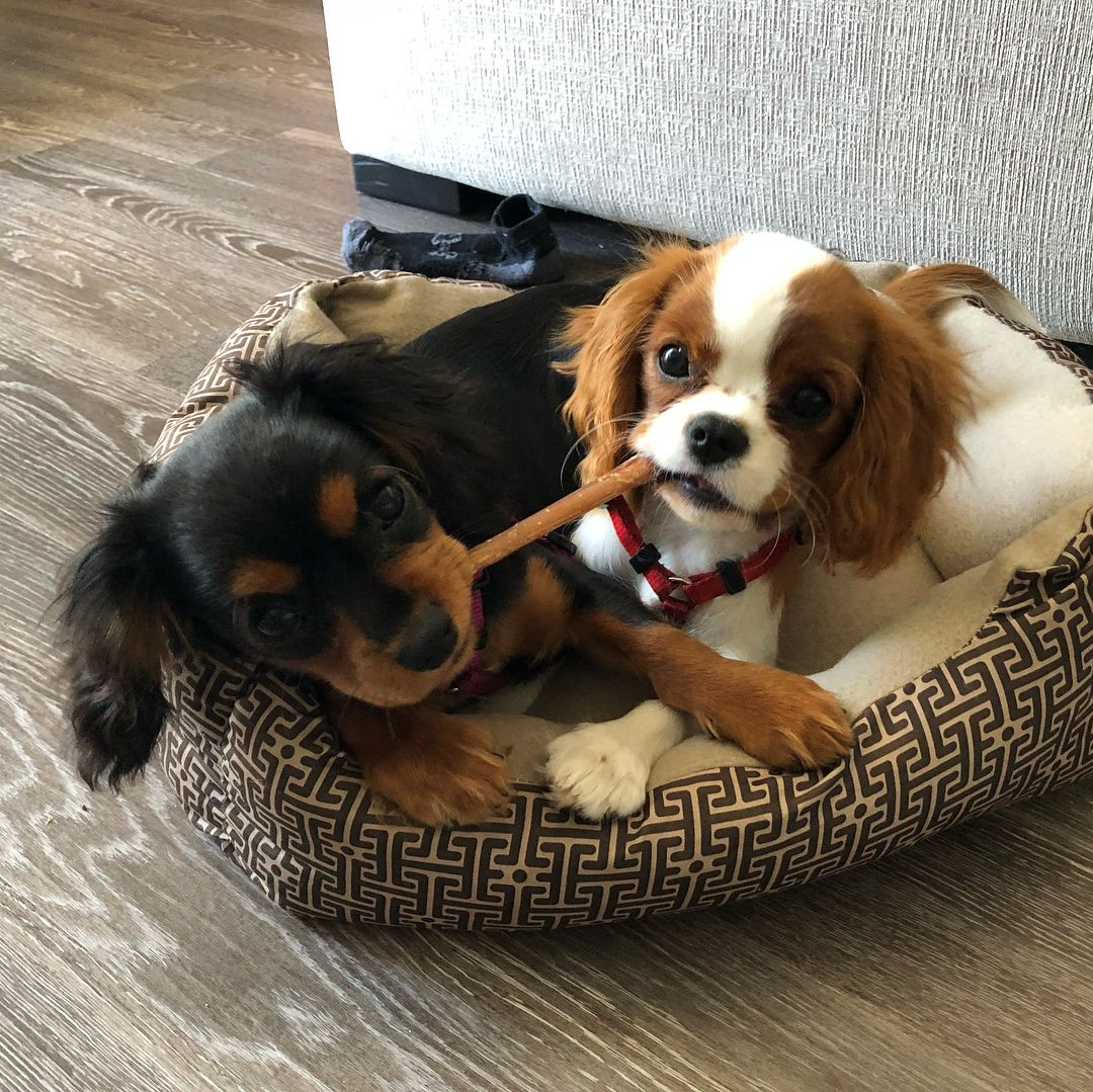 Our Mom Gave Us 2 Chew Toys And 2 Beds But Let S Fight Over 1