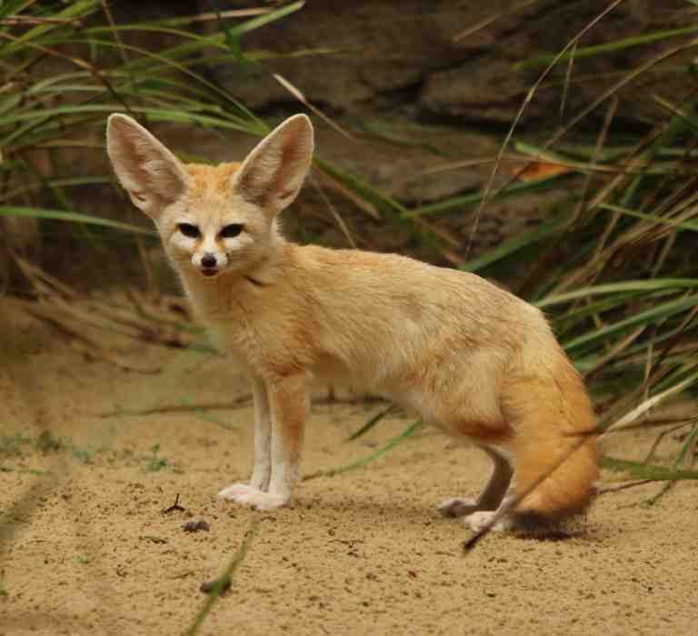 The Fennec Fox Google Search Hewan