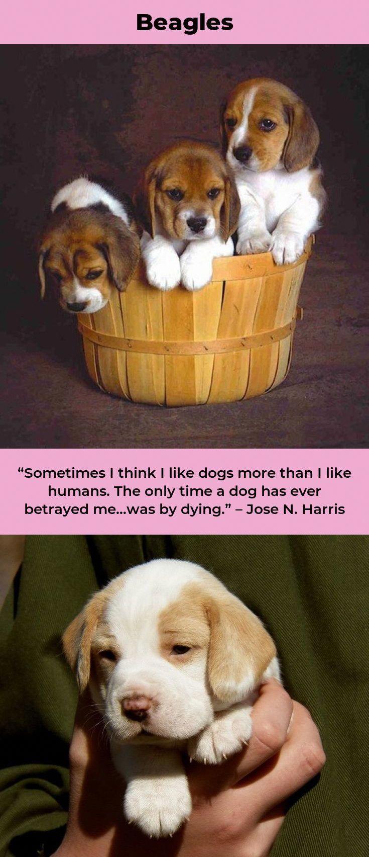Beagle Pup Beaglesofig Beagleoftheday Animal Beagle Puppy