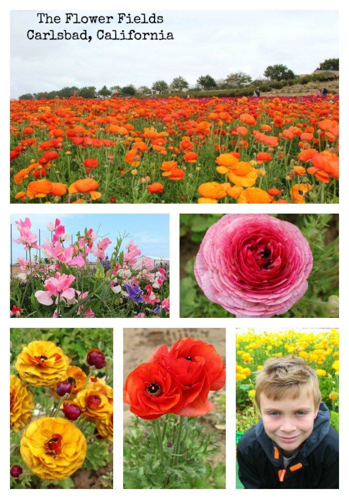 The Best Time To Visit The Flower Fields In Carlsbad Socal Field Trips Carlsbad Flower Fields Flower Field Carlsbad