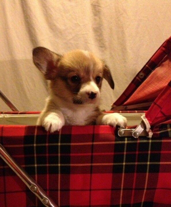 My corgi puppy Reggie