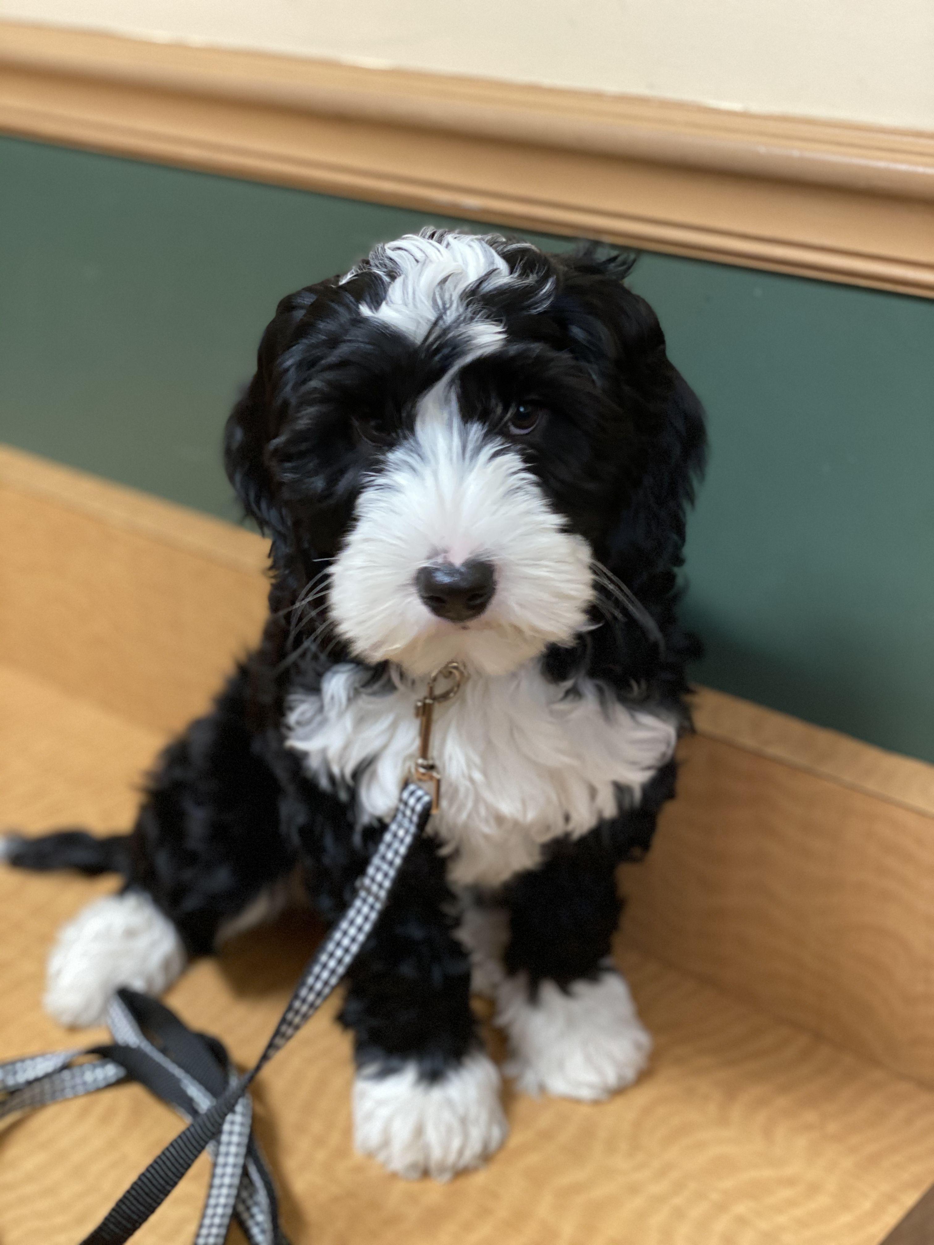 Jojo Tillery Labradoodles In 2020 White Labradoodle Black Labradoodle Puppy Black Labradoodle