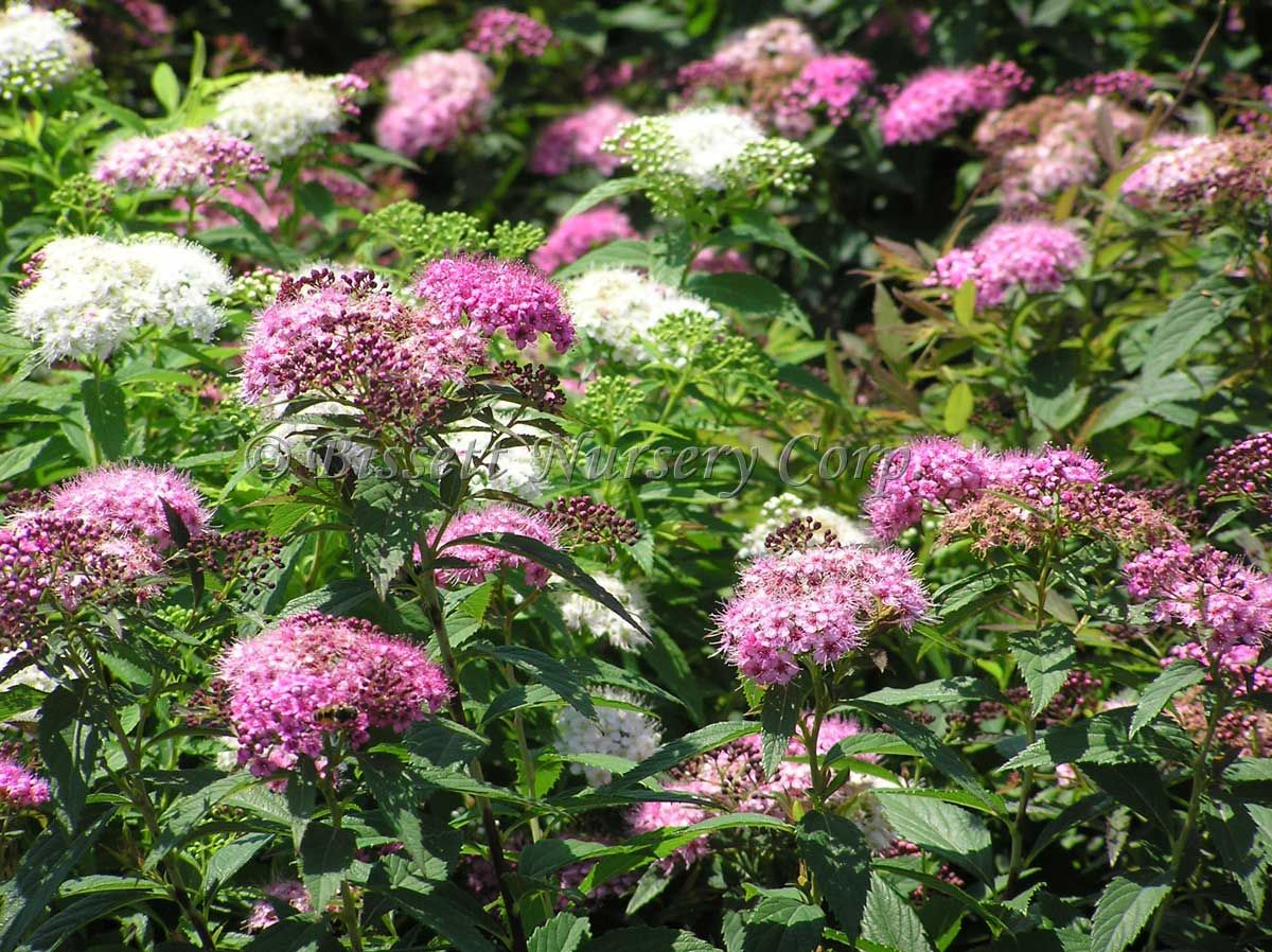 Spirea Shirobana Pink And White Flowers On Blue Green Foliage