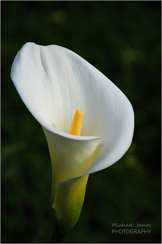 Lily calla lilies flowers and house for Calla lily flower meaning