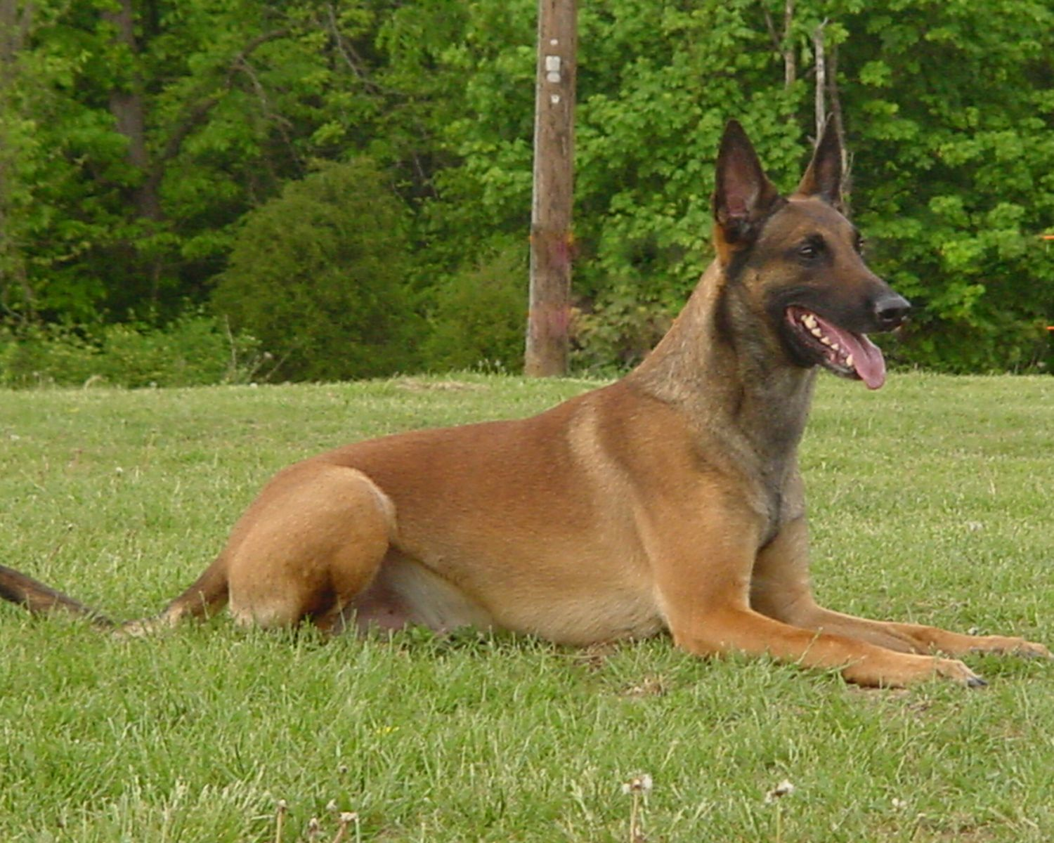 belgian malinois Google Search 6 weeks and counting