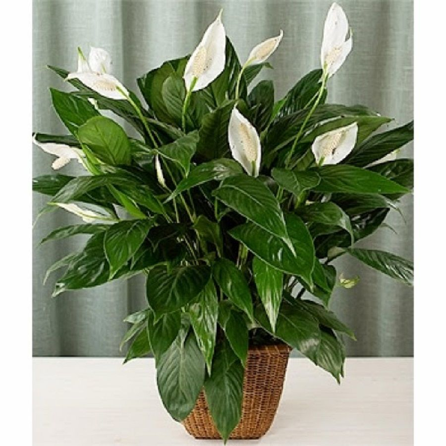 Spathiphyllum - female happiness. Growing, caring for a plant 79