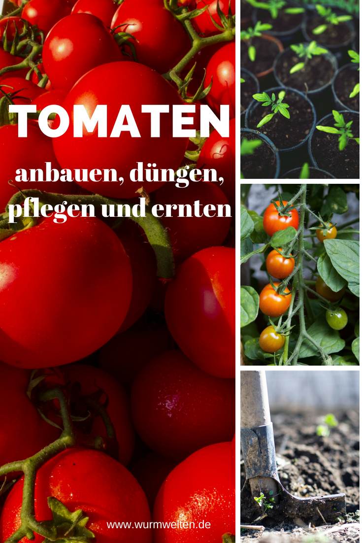 Tomaten aus dem heimischen Garten schmecken #tomatenzüchten