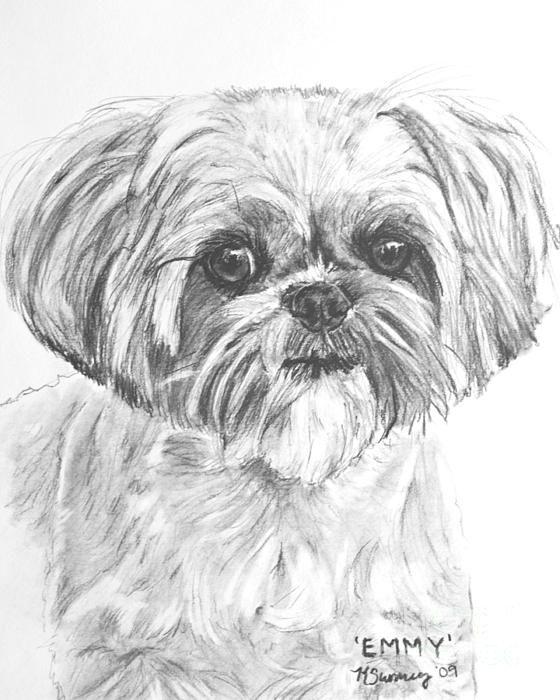 Shih Tzu Portrait In Charcoal Drawing Shih Tzu Dog Art Dogs