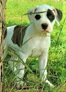 Alapaha Blue Blood Bulldog Puppy For Sale In Shelocta Pa Adn