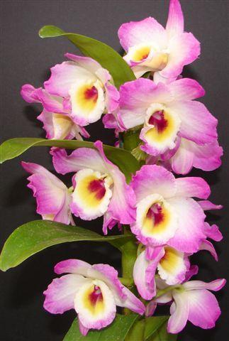 Haiku Maui Hawaii Dendrobium Nobile Wonderful Flowers Orchidaceae