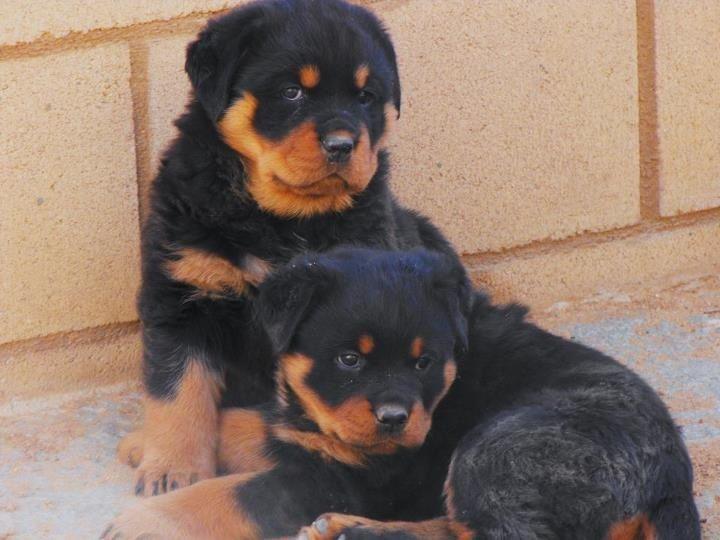 Rottweiler Puppies