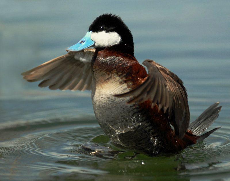 duck bird | Birding Is Fun!: Ruddy Duck - featured bird of GSL Bird  Festival | Bird festival, Bird, Duck bird