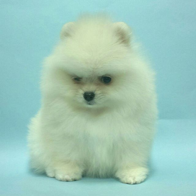 Pomeranian Puppies For Sale Get Pics And Price On Pomeranian Puppy For Sale Cute Animals Pomeranian Puppy