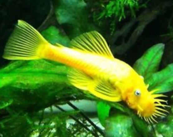 Blue Eyed Lemon Bristlenose Pleco 1 Inch In 2020 Tropical Fish Rare Fish Aquarium Catfish